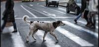Почему даже бездомные животные переходят дорогу по зебре